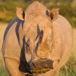 big_white_rhinoceros1